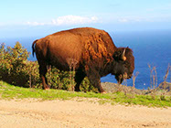 A Buffalo walking along the road into town out in the hills of Catalina Island.