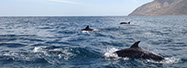 Dolphins enjoying the day off the coast of Catalina's East End.