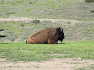 An island bison relaxing out in the hills.